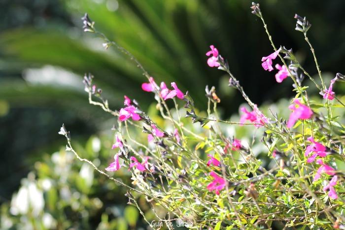 Salvia microphyla