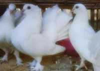 menjodohkan burung merpati kipas
