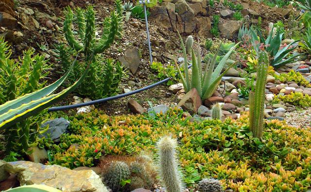 Aptenia do meu jardim