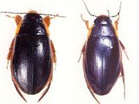 escarabajos de agua