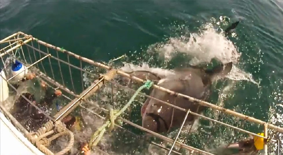 South Africa Great White Shark bends cage during a cage dive