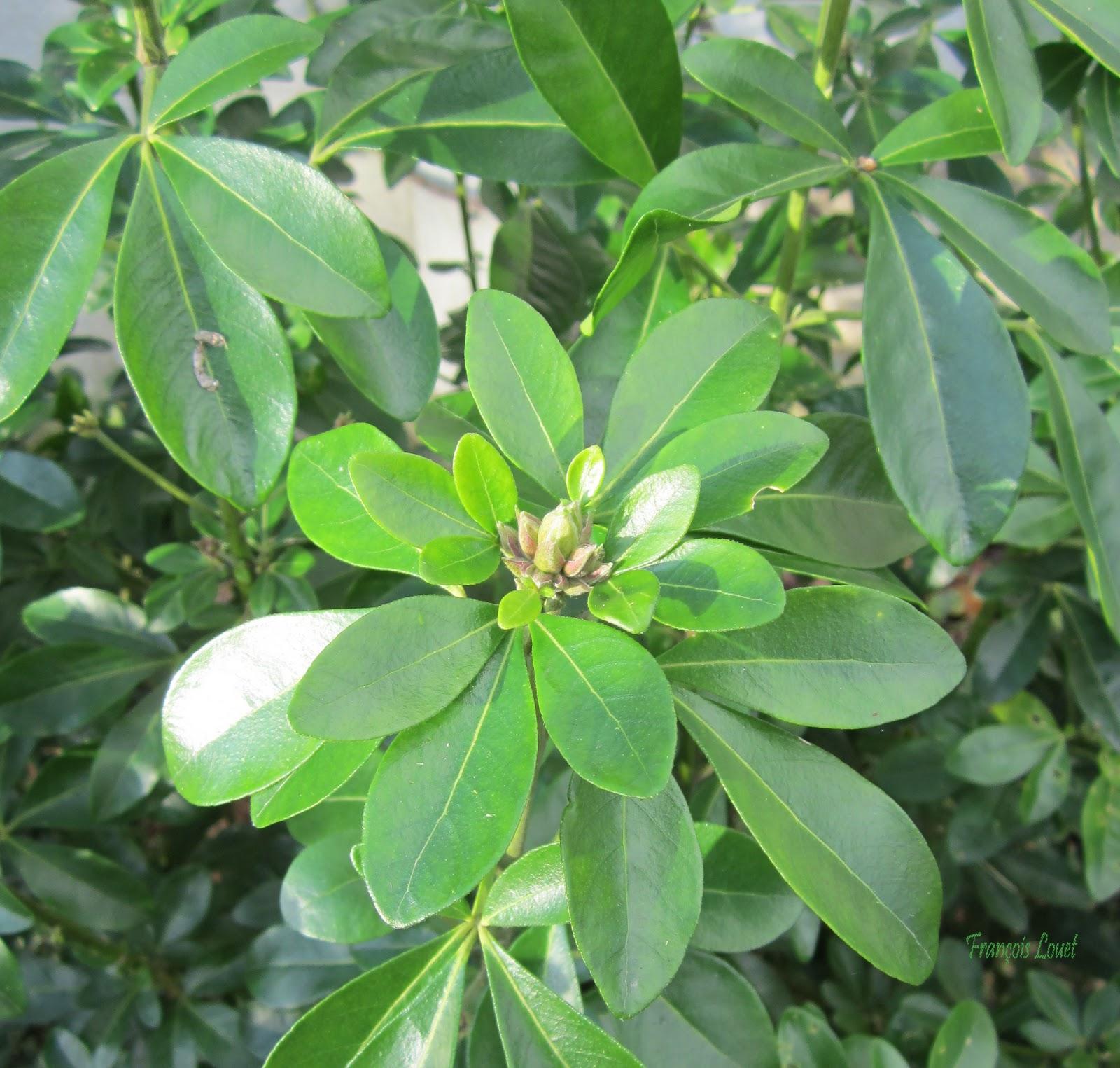 Herbier du jardin oranger du mexique - Oranger du mexique entretien ...
