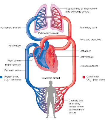 systemic and portal circulation meet