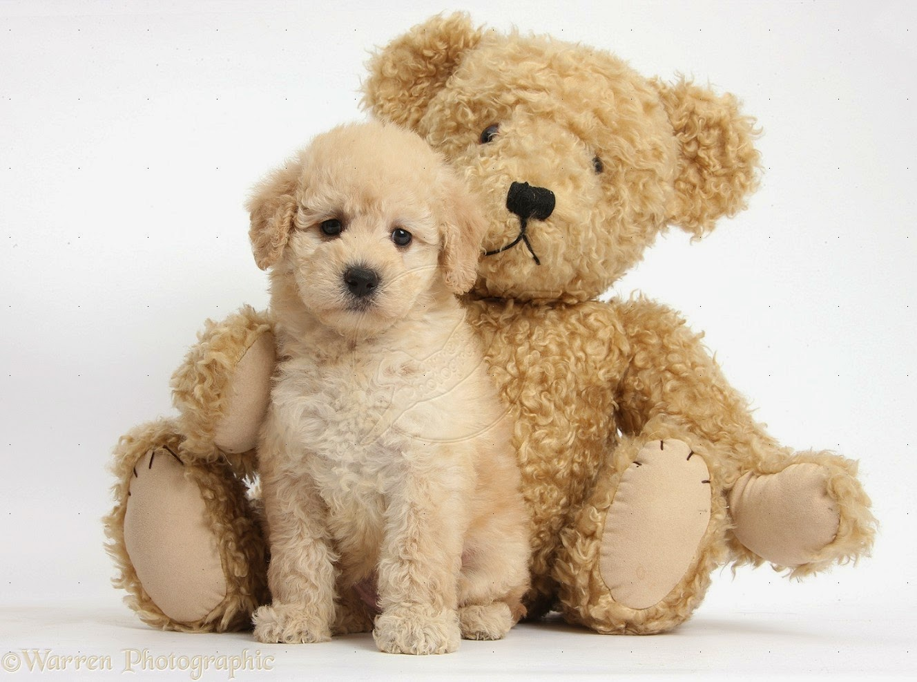 Teddy bear adult dogs teddy bear puppies