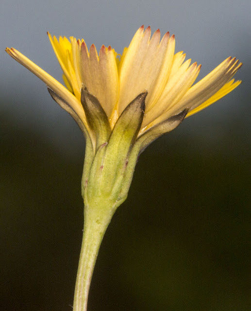 Flower of Lesser Hawkbit, Leontodon saxatilis.  Ashdown Forest, 17 August 2012.