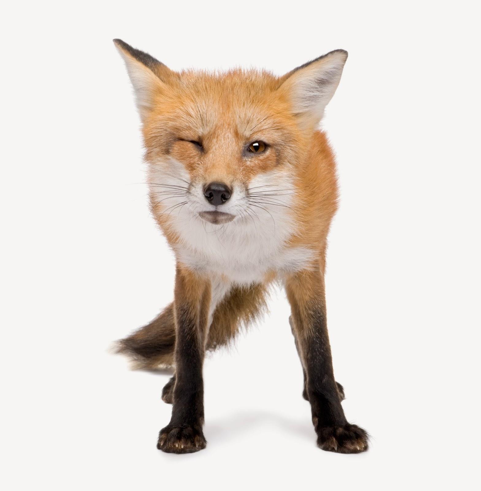 winking fox