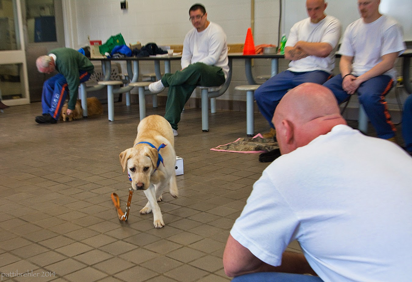 The bald man in the white t-shirt is squatting down facing away from the camera on the right side. The yellow lab is coming toward him, dragging her leash, her right front paw is crossing in front of her left paw. The man in the green sweatshirt sitting in the background is bending over to pet the golden retriever that is lying onf the floor beneath him. There are three more men in the background sitting in a row on stools attached to lunch tables. All of their faces are out of the camera's view. They are all wearing white t-shirts, one is wearing green pants, the two on the right side are wearing the blue prison pants.