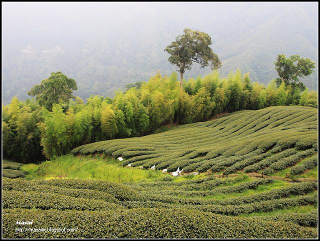 南投竹山 八卦茶園