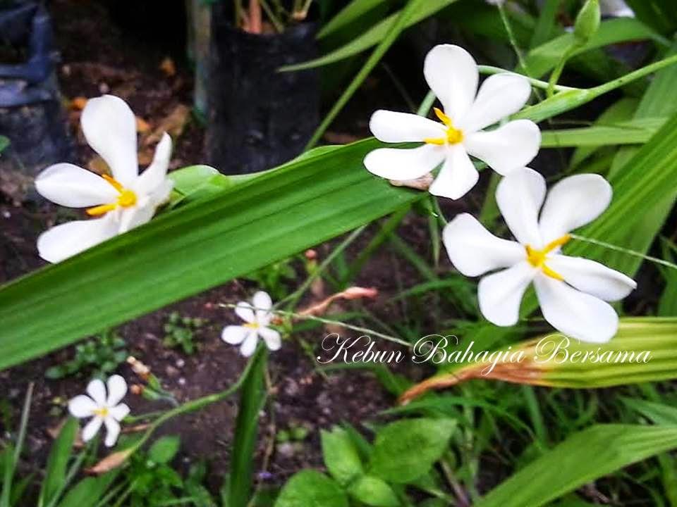 Bawang Dayak / Bawang Serai / Tampaka  Eleutherine palmifolia