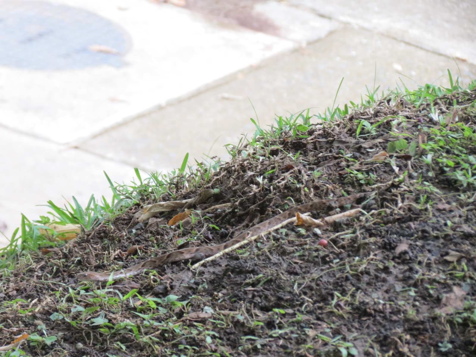youth and biodiversity venomous fer de lance snake in my backyard