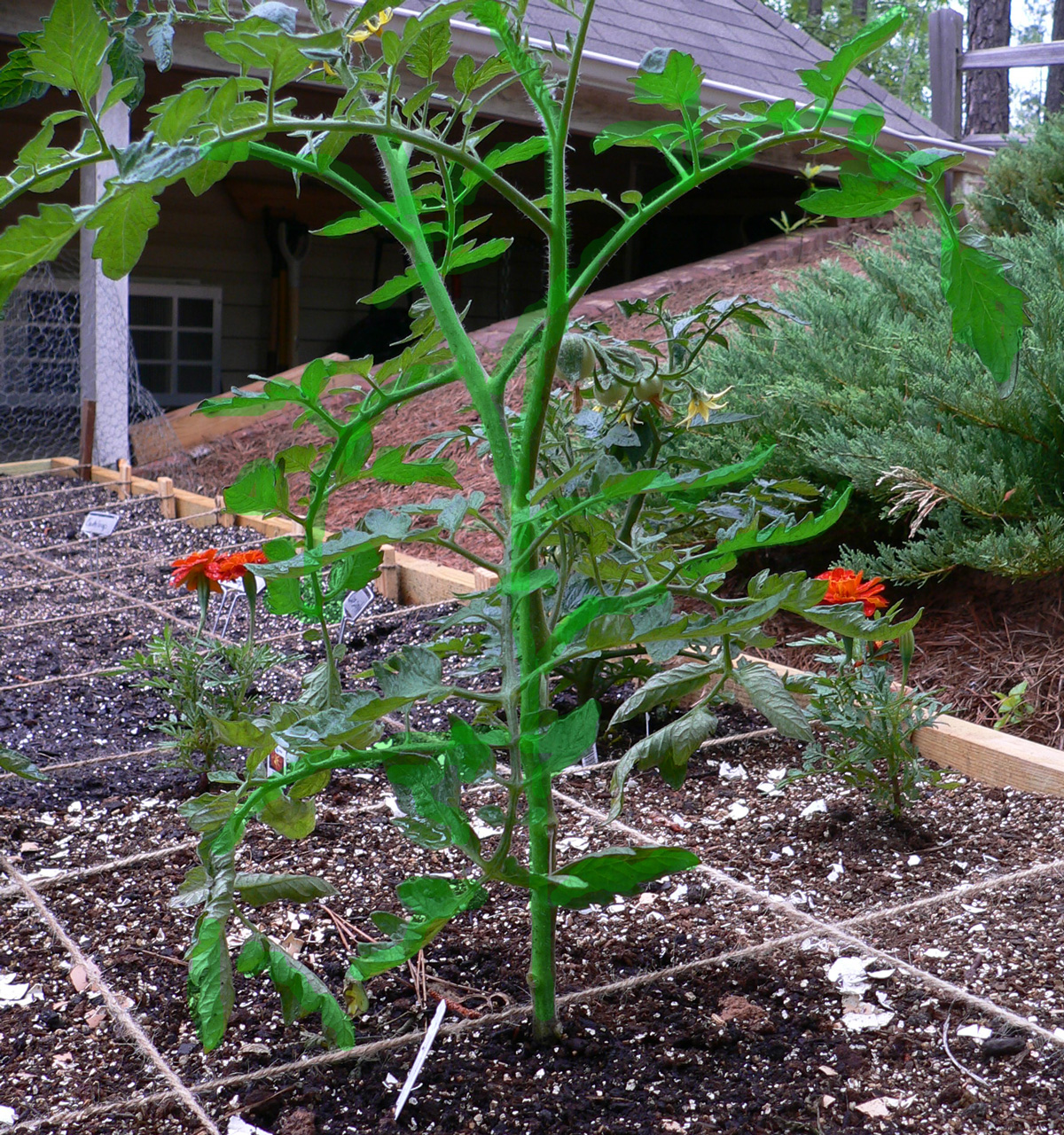 Adventures In Square Foot Gardening Pruning For Stronger Stems And More Fruit