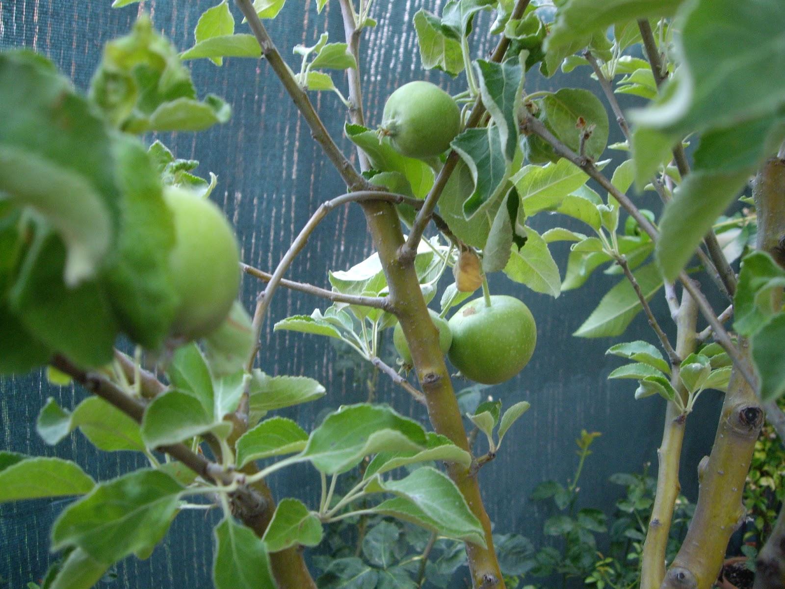 La mar de verde el manzano arboles frutales en maceta for Cultivo de arboles frutales en macetas