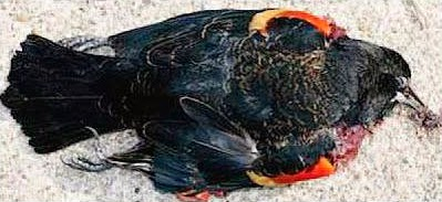 Mysterious death of a bird in Jatinga