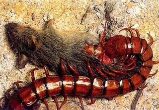 kelabang terbesar, kelabang raksasa, lipan terbesar di dunia, lipan raksasa, serangga berkaki seribu