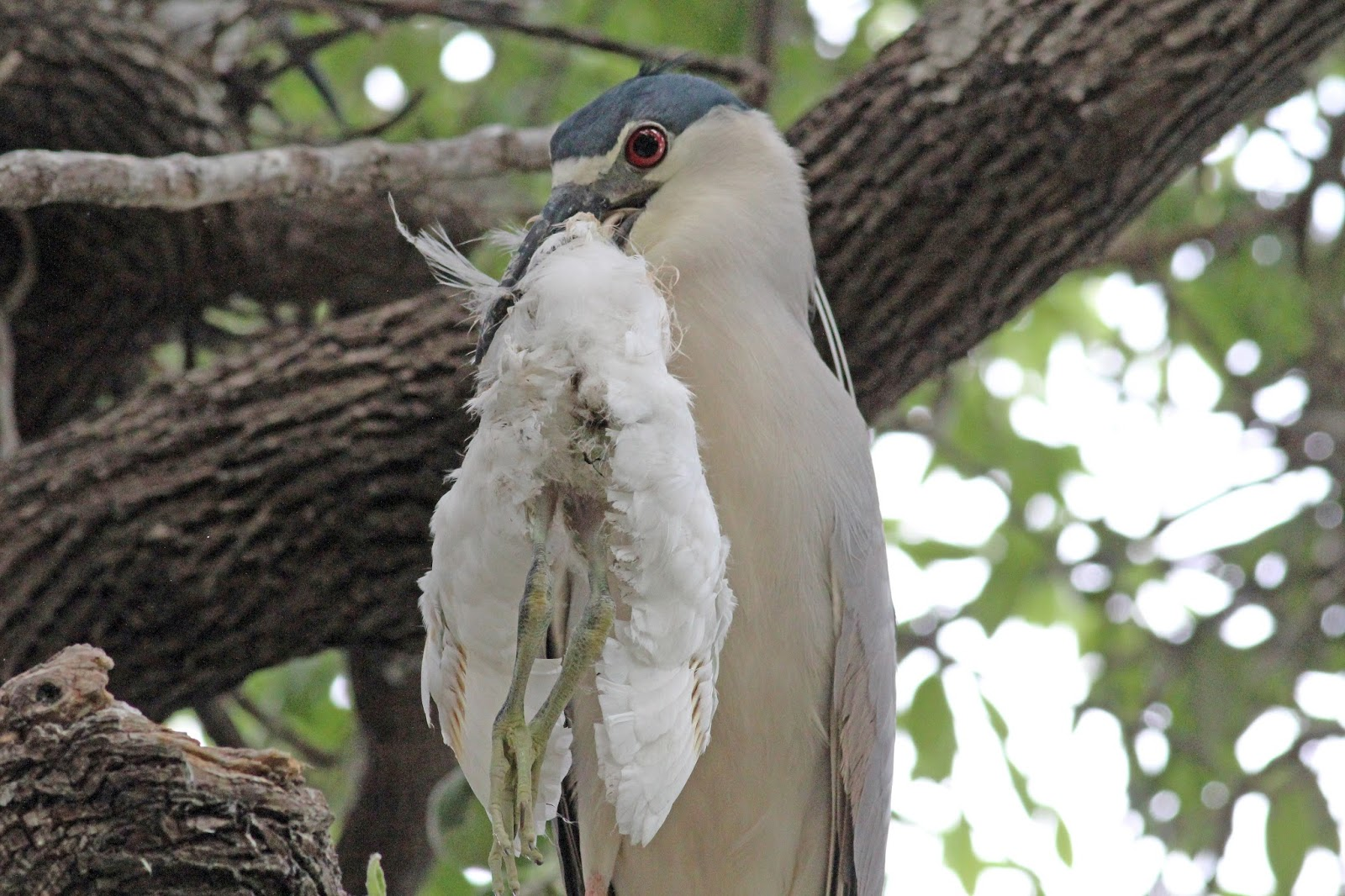 http://4.bp.blogspot.com/-YkO0GrFm0AI/UgfPtjk-AsI/AAAAAAAAIJ8/4bFP1rUcAfc/s1600/night+heron+eating+bird.jpg