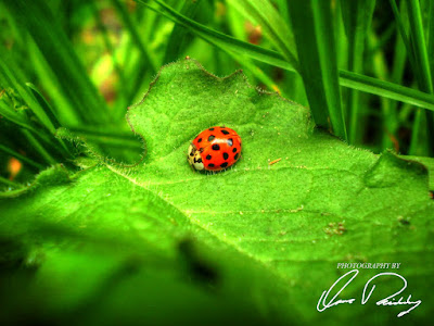 lady bug ladybug red polka dot polkadot nature outdoor outdoors leaf leaves