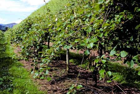 Kiwi actinidia deliciosa - Comment pousse les kiwi ...