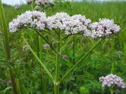Valeriana officinalis, pianta utilizzata in fitoterapia