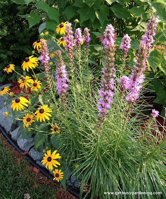 Liatris and black eyed Susan