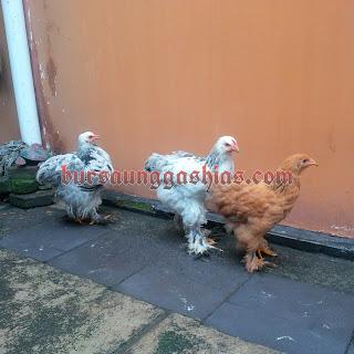 Jual anakan ayam brahma