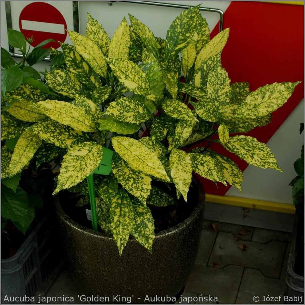 Aucuba japonica 'Golden King' - Aukuba japońska 'Golden King'