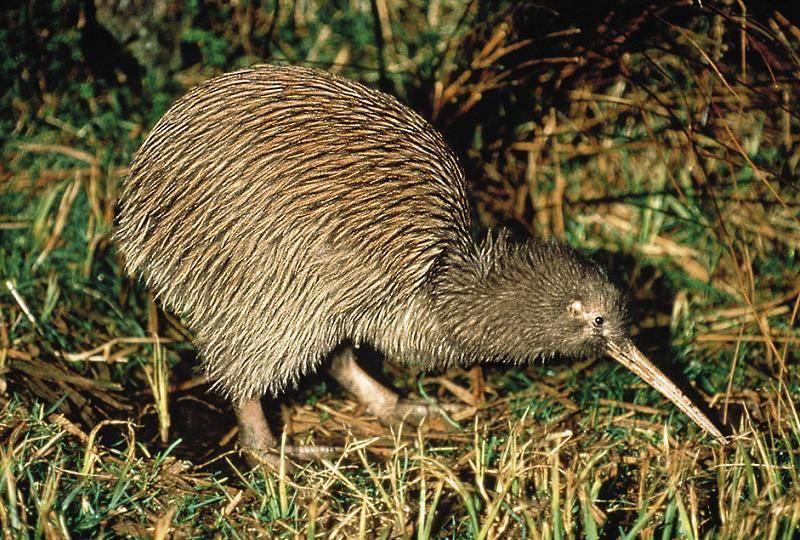 kiwi animal wildlife. Black Bedroom Furniture Sets. Home Design Ideas