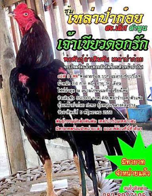 harga ayam bangkok jawara