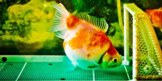 Span, Ikan Mas yang Jago Main Bola