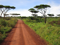 Quintessential Africa: Acacia trees, and an open dirt road (exit to Ngorongoro Crater, Tanzania)