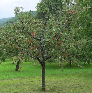 Apple Malus Domestica Health And Natural Herbal