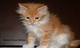 Maine Coon Cat Paws Free Download Wallpaper