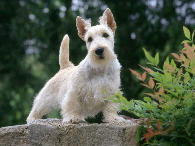 Scottish Terrier Dog Breed high resolution widescreen
