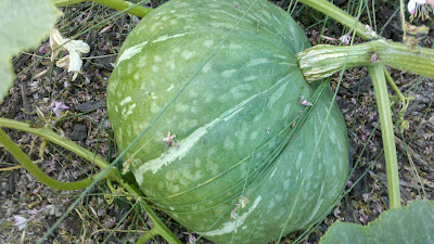 Edible front yard full of Melons, Squash and Pumpkins!