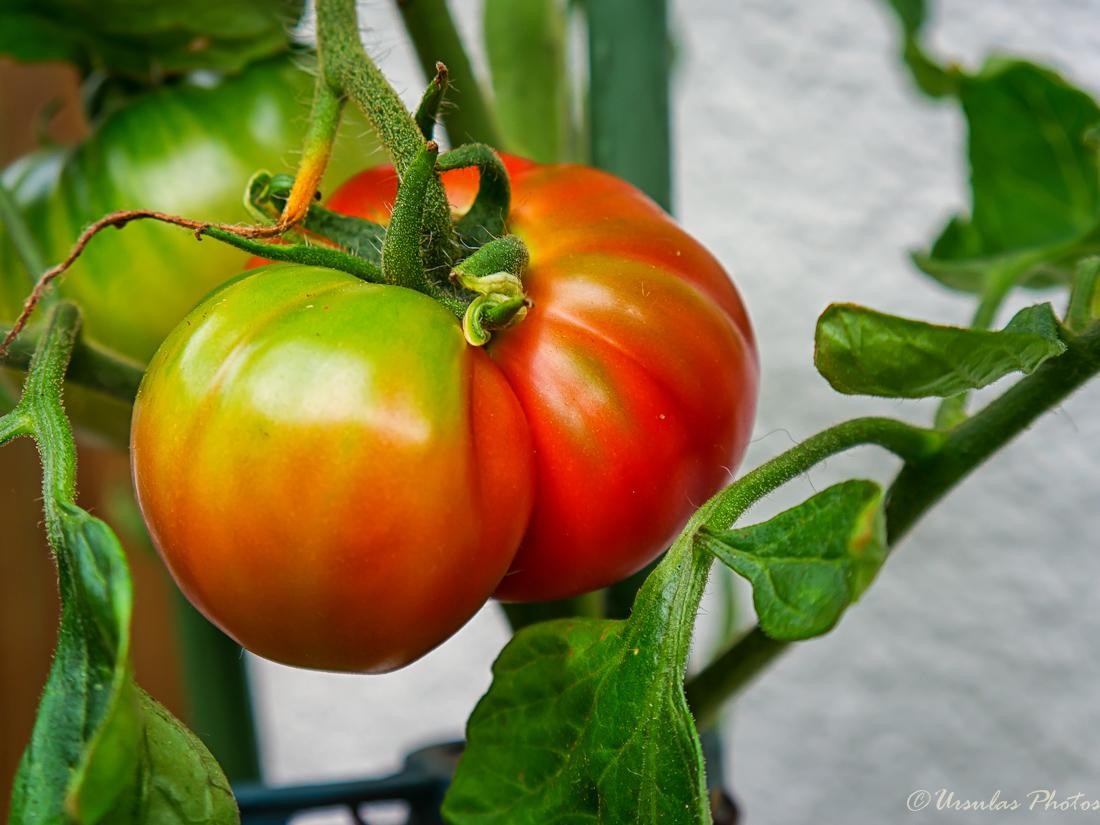 marzano tomaten