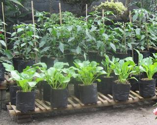 Cara Budidaya Sayuran Di Halaman Rumah