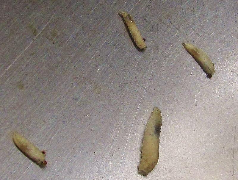 White Worms In Kitchen Sink