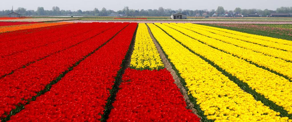 field of red and yellow tulips in rows