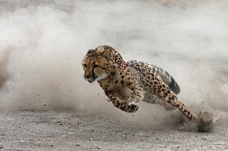 7 Hewan Tercepat Di Dunia