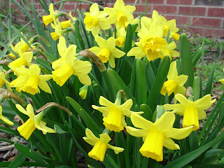 daffodils along Vicky's walkway