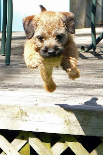 Border Terrier Puppy Picture