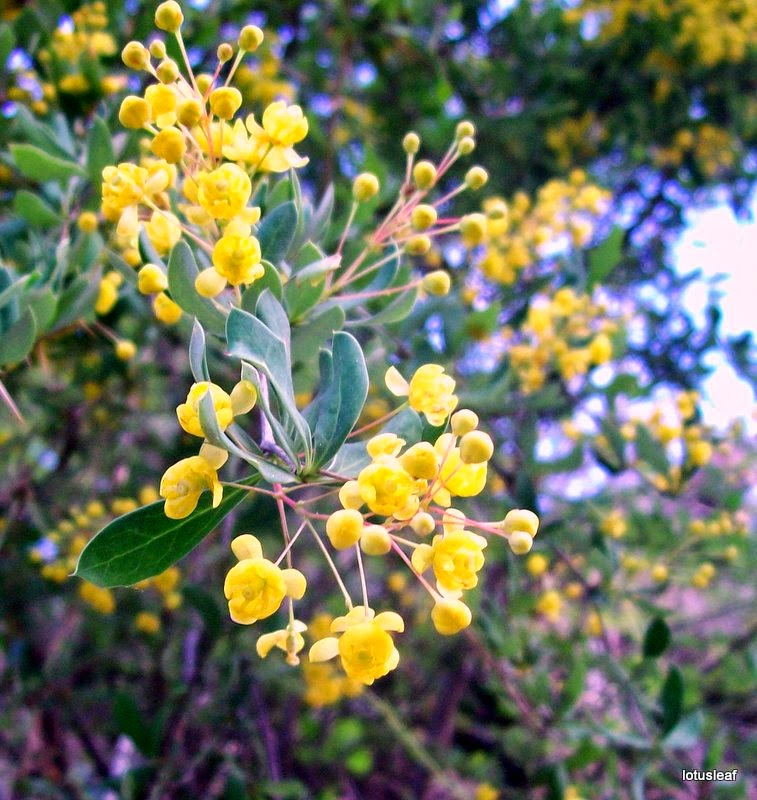 Indian flowers and herbs tree turmeric berberis aristata you find the tree turmeric flowering all along the toad in the himalayan foothills in may the attractive yellow flowers are buzzing with bees mightylinksfo