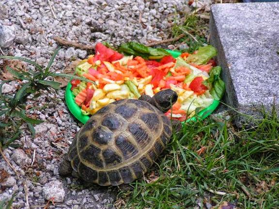 Как питаются черепахи в домашних условиях 759