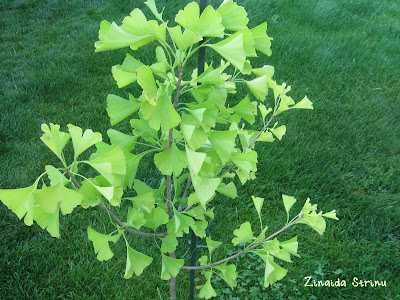 ginkgo-biloba-in-plina-splendoare