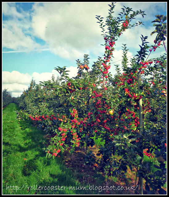 pick your own apples, Blackmoor Estate