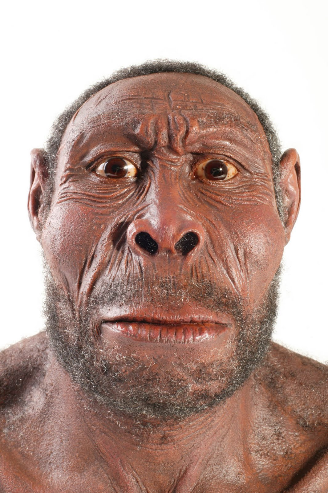 how tall is homo erectus