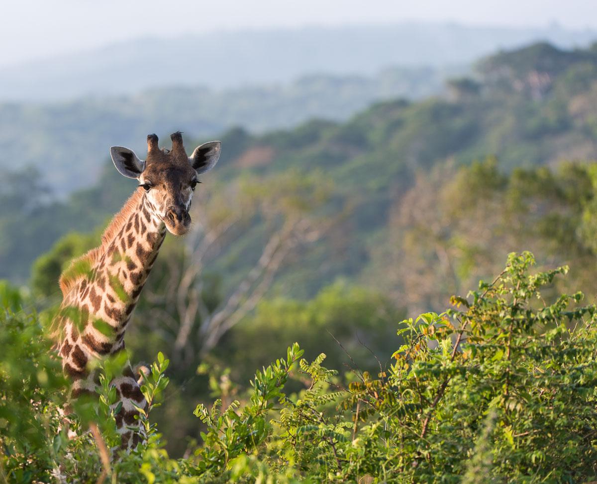 Amboseli, Kenia, Lanschaft, Wolken, Afrika, Nature, Nikon, D750, Objektiv AF-S NIKKOR 20 mm 1:1,8G ED, Safari, Giraffen, Wildlife Photography,