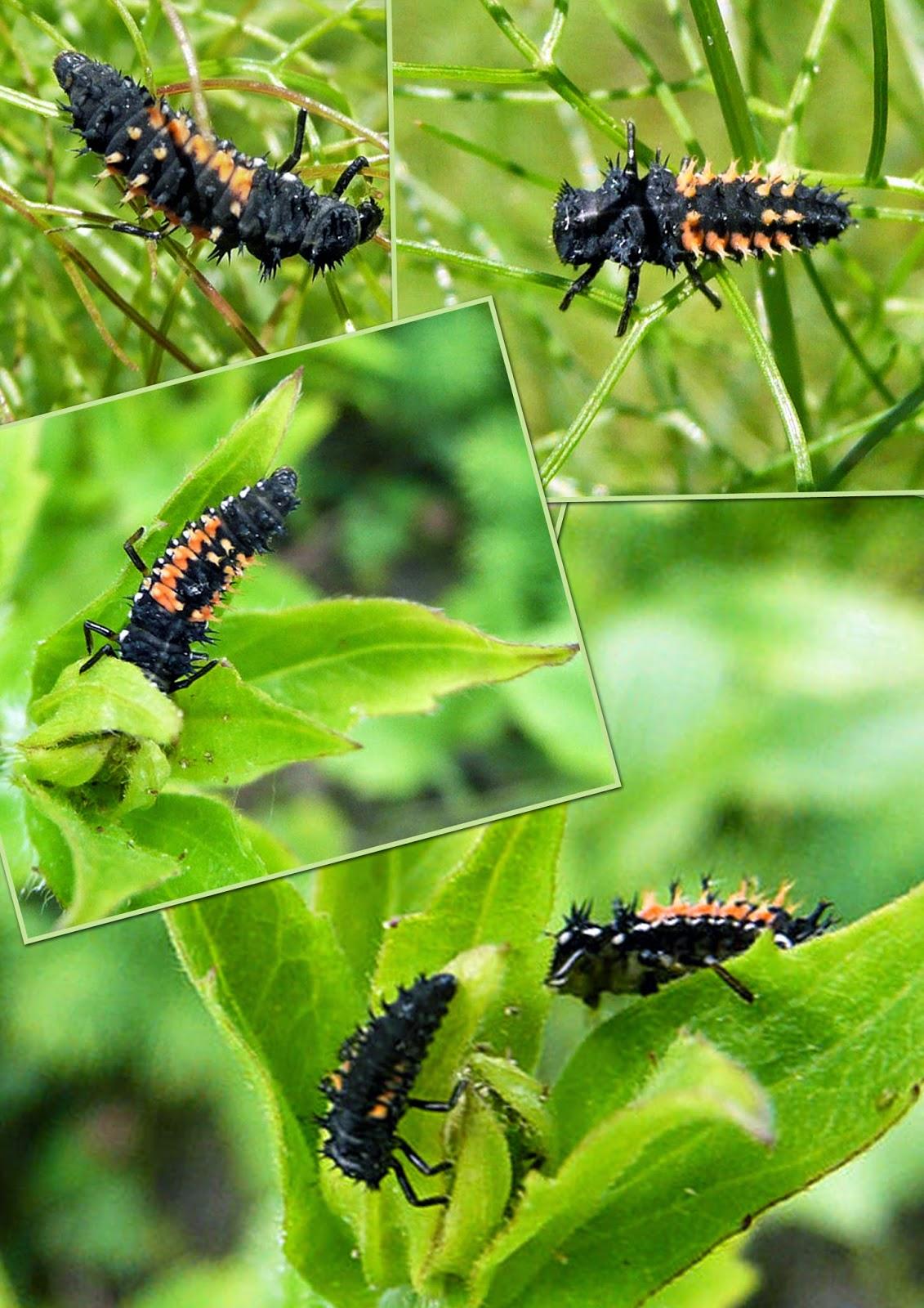 Coquelicots coquillages et belles pages red code larves coccinelles asiatiques - Larve de coccinelle ...