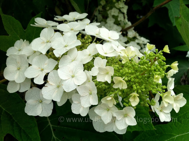 oakleaft hydrangeas - white flowers photo