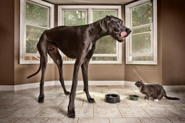 Zeus - el perro mas grande del mundo