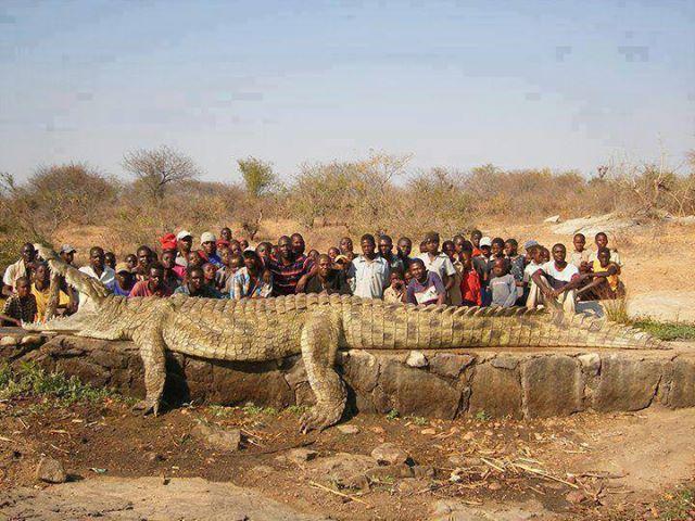 Фото дня. 1200 кг крокодил